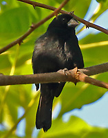 Male thick-billed seed-finch