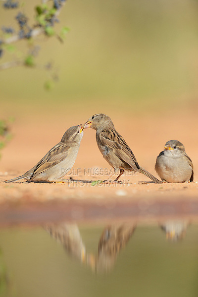 House Sparrow (Passer domesticus), female feeding young, Rio Grande Valley, South Texas, Texas, USA