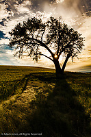 Single tree silhouetted at sunrise, Palouse region of eastern Washington.
