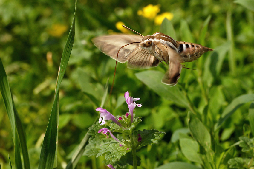 The Sphinx Moth (family Sphingidae) is also called the Hawk Moth and the Hummingbird Moth because of its hovering, swift flight patterns.