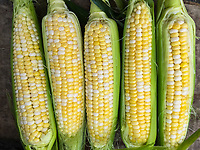 Fresh bicolor corn for sale at the Uptown Westerville Farmers Market.