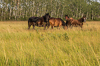 Clydesdale horses are seen on a farm in Saint-Laurent, Manitoba, Friday August 14, 2015. The Clydesdale is a breed of draft horse derived from the farm horses of Clydesdale, Scotland, and named after that region.