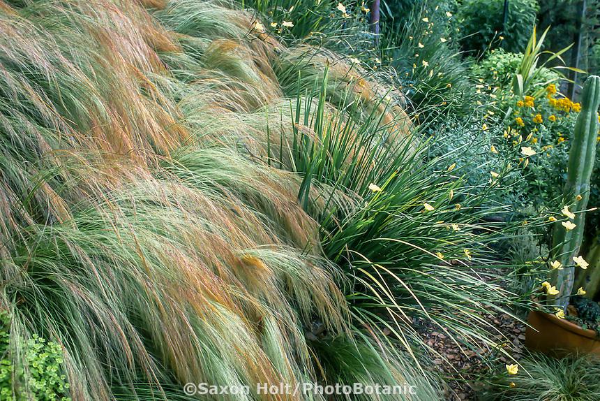 Nassella tenuissima (aka. Stipa tenuissima)(Mexican Feather Grass) spilling down slope in Raiche garden