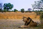African Lion (Panthera leo) male yawning, Nkasa Rupara National Park, Namibia