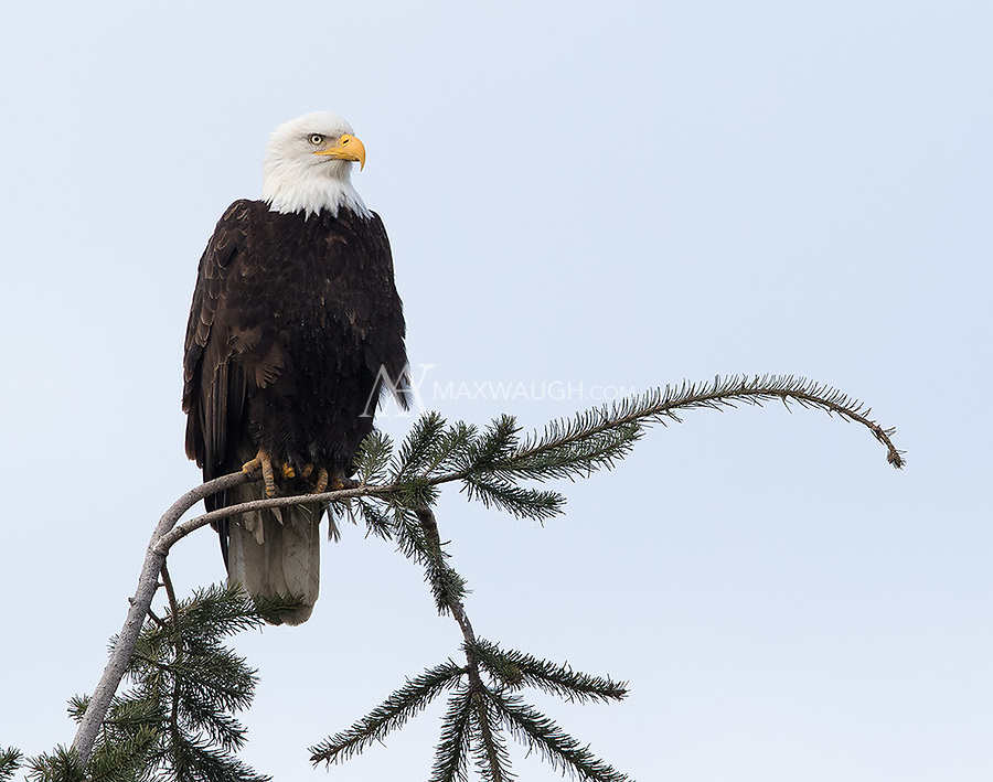 Bald eagles are a common sight in Washington's Skagit Valley.