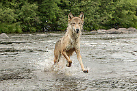 Gray Wolf running through water, Canis lupus<br /> (Controlled Situation)<br /> Minnesota