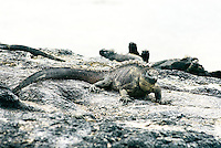 Everywhere, it seemed, the once motionless iguana were repositioning themselves for maximum exposure to the warming rays of the rising sun or scurrying into the water for a breakfast of algae. Marine iguana are the world's only sea lizards and are found only in the Galápagos Islands. .