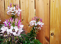 Stock photo: Pink and white flowers grown near a wooden fence in Georgia USA.