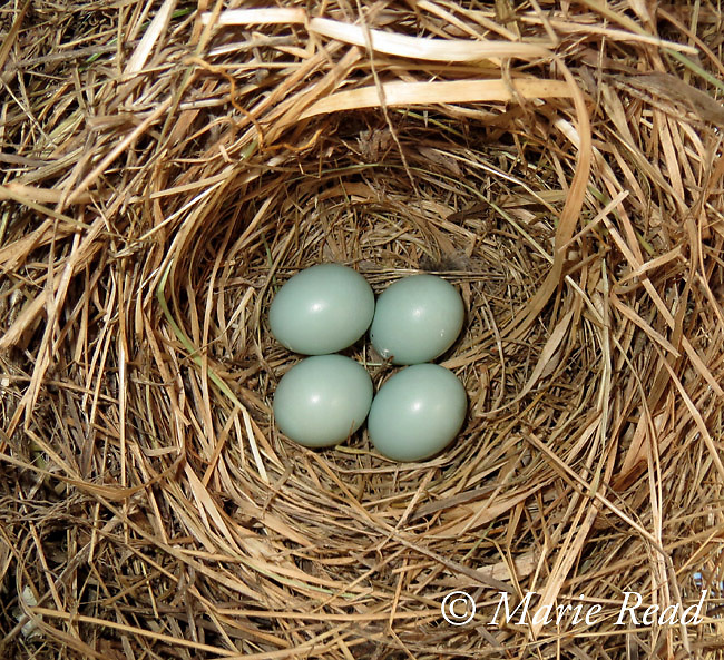 Nest with four eggs of Eastern Bluebird (Sialia sialis), Ithaca, New York, USA (Powershot image)
