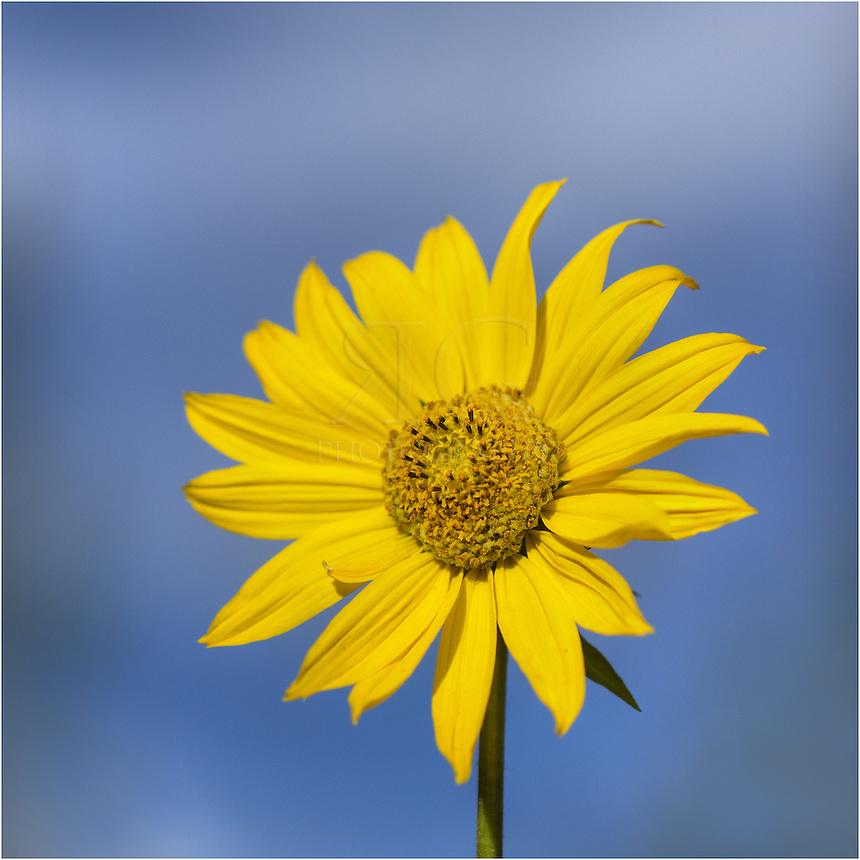 On a nice blue morning in the Colorado Rockies, this sunflower reaches for the sun. Colorado wildflower such as this are prevalent in the summer months in these beautiful mountains.