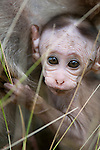 A 4 week old toque macaque infant looks through grass. Archaeological reserve, Polonnaruwa, Sri Lanka. IUCN Red List Classification: Endangered