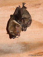 0715-1106  Seba's Short-tailed Bat, Roosting in Building in Belize, Carollia perspicillata  © David Kuhn/Dwight Kuhn Photography