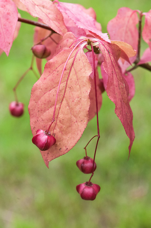 Euonymus planipes 'Sancho', early September.