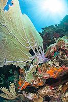 Sea fan scenic<br /> Virgin Islands