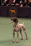 German Shorthair Pointer, Best of his Breed, at the Westminster dog show Shopping cart has 3 Tabs:<br /> <br /> 1) Rights-Managed downloads for Commercial Use<br /> <br /> 2) Print sizes from wallet to 20x30<br /> <br /> 3) Merchandise items like T-shirts and refrigerator magnets