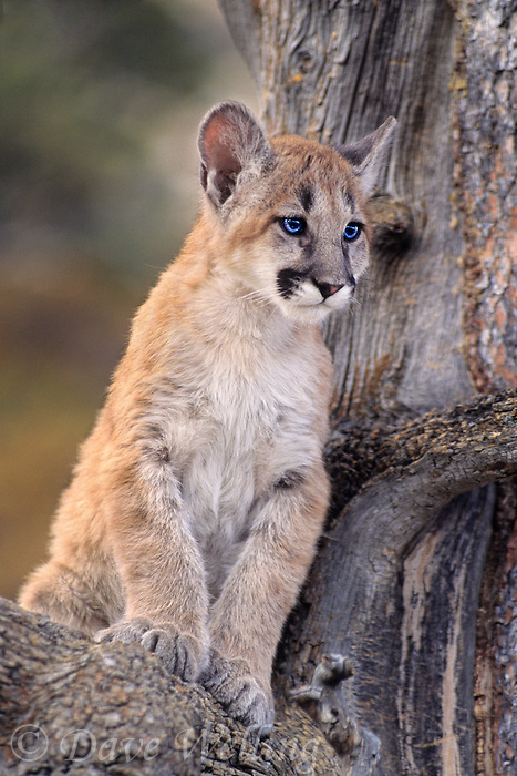 656326035 a captive mountain lion cub felis concolor sits in the notch of a tree staring out at its habitat in central montana