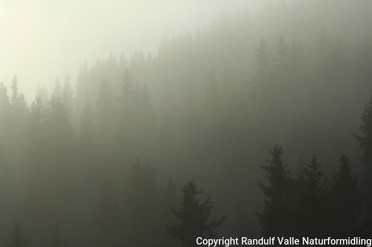 Tåke i granskog ---- Mist in spruce forest