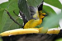 CALI - COLOMBIA - 11 - 02 - 2018: Turpial Amarillo (Icterus Nigrogularis) especie de ave en Cali, en el Departamento del Valle del Cauca. / Turpial Amarillo (Icterus Nigrogularis) a bird species in Cali, in Valle del Cauca Department. / Photo: VizzorImage / Luis Ramirez / Staff.