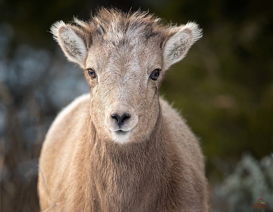 Ok it is not yet living up to its species name - just a couple small nubs on this Bighorn Sheep (Ovis canadensis) lamb. Not even sure whether this was a male or female. But it certainly was curious about us, coming quite close to check us out before joining up with the rest of its group.