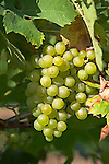 Grapes for white wine, Shawsgate vineyard, Suffolk, England