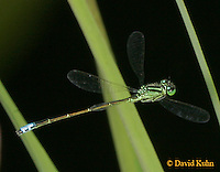 0826-06pp  Eastern Forktail Damselfly - Male - Ischnura verticalis - © David Kuhn/Dwight Kuhn Photography