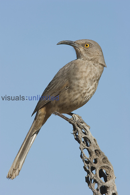 Curve-billed Thrasher (Toxostoma curvirostre) on a Cholla Cactus skeleton, Arizona, USA.