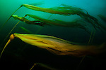 bull kelp flows in the current; shot with one Sea&Sea YS-300 strobe at f16 1/30/sec