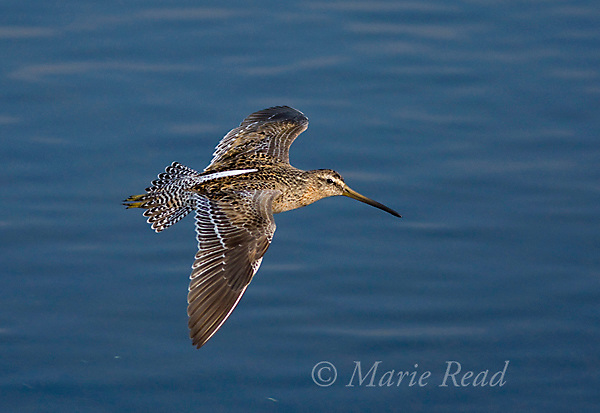 Short-billed Dowitcher (Limnodromus griseus), in flight, Bolsa Chica Ecological Reserve, California, USA