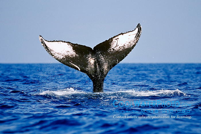humpback whale, Megaptera novaeangliae, lobtailing or tail slapping, showing unique marking and color pattern on ventral surface of its tail or fluke which can be used to identify each individual whale, Hawaii, Pacific Ocean