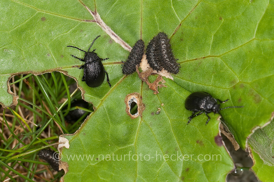 Rainfarn-Blattkäfer, Rainfarnblattkäfer, Käfer gemeinsam mit Larve auf Korbblüter-Blatt vom Alpendost, Adenostyles, Galeruca tanaceti, tansy beetle
