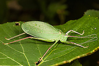 A female Common True Katydid (Pterophylla camellifolia) perches on a low level wild grape plant leaf.