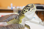Green Sea Turtle Recovering, Welfleet Bay Wildlife Sanctuary / NE Aquarium, Audubon
