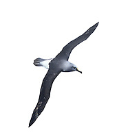 Grey-headed Albatross - Thalassarche chrysostoma