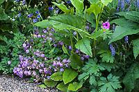 Geraniums in perennial border with bold foliage Verbascum, Geranium cantabrigiense left, G. pratense behind, G. psilostemon right; Gary Ratway garden