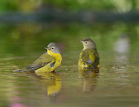 Nashville Warbler (Vermivora ruficapilla), adult bathing in pond, Hill Country, Texas, USA