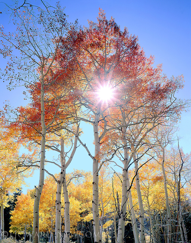 Sunburst through a red-hued aspen tree, near Telluride, Colorado
