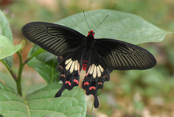 .Common Rose Butterfly (Pachliopta aristolochiae), Papilionidae, adult, Erawan National Park, Thailand