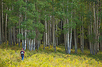 Hiker on Arizona National Scenic Trail approaching grove of aspen trees, on segment between Snowbowl and Bismarck Lake, in San Francisco Peaks area of Coconino National Forest, north of Flagstaff, Arizona, AGPix_1907