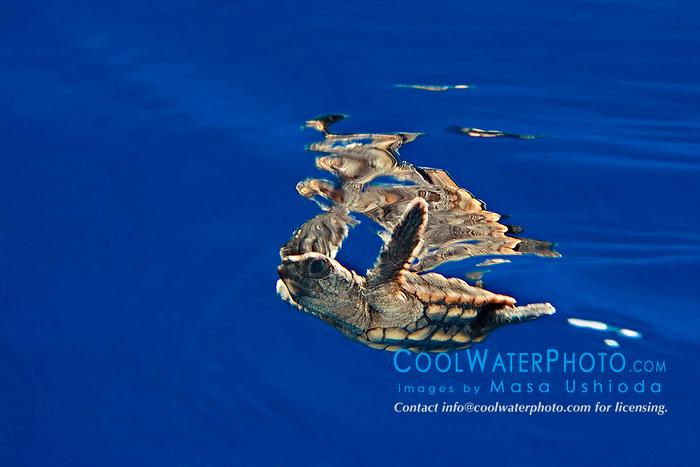 loggerhead sea turtle hatchling, Caretta caretta, in open water, Sargasso Sea, North Atlantic Ocean