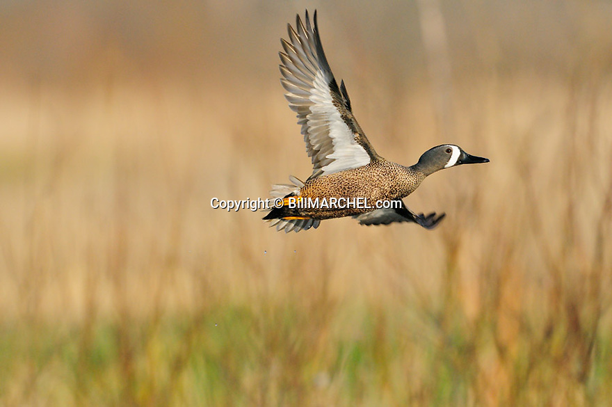 00315-065.10 Blue-winged Teal drake in flight with trees in the background.  Fly, action, hunt.