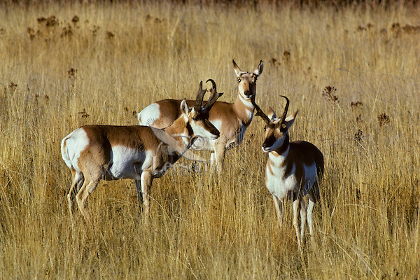 "Pronghorn Antelope--one buck stands guard between ""his"" doe and the other buck during fall rut.  Western U.S..Pronghorn Antelope (Antiloapra americana)"