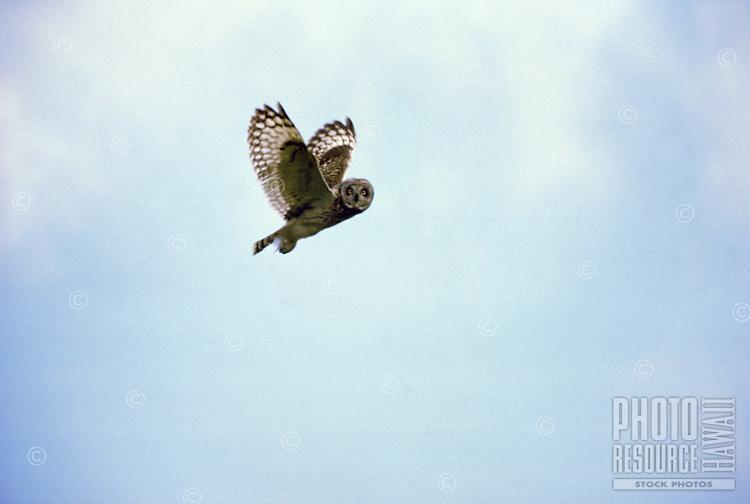 Native Hawaiian owl, pueo in flight, a guardian  or amakua to some Hawaiian families