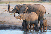 Three sniffs, as a young family greets the air around a waterhole shortly after arriving. The forth, is tucked away and already drinking as the saftey check as far as its concerned belongs to the others.
