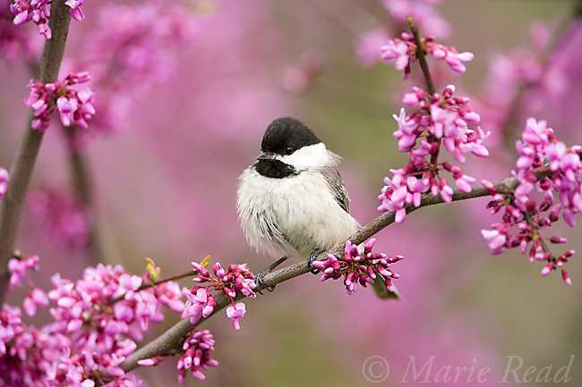 Black-capped Chickadee (Poecile atricapilla) perched in flowering eastern redbud in spring, New York, USA
