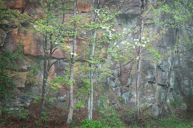 blossoming dogwood trees in fog next to granite rock wall, North Carolina