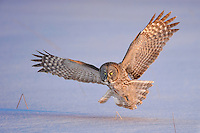 a great gray owl flying low over a field in late afterrnoon