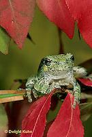 FR10-047z  Gray Tree Frog -  Hyla versicolor
