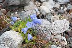 Wildflowers Kulusuk Greenland