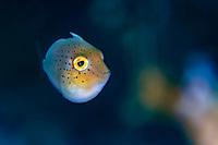 Juvenile Yellowmargin triggerfish, Pseudobalistes flavimarginatus, Bitung, Lembeh Strait, Celebes Sea, Sulawesi, Indo-Pacific, Indonesia