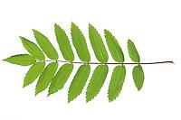 Vogelbeere, Eberesche, Vogel-Beere, Vogelbeerbaum, Sorbus aucuparia, Pyrus aucuparia, rowan, mountain-ash, Le Sorbier des oiseleurs, Sorbier des oiseaux. Blatt, Blätter, leaf, leaves